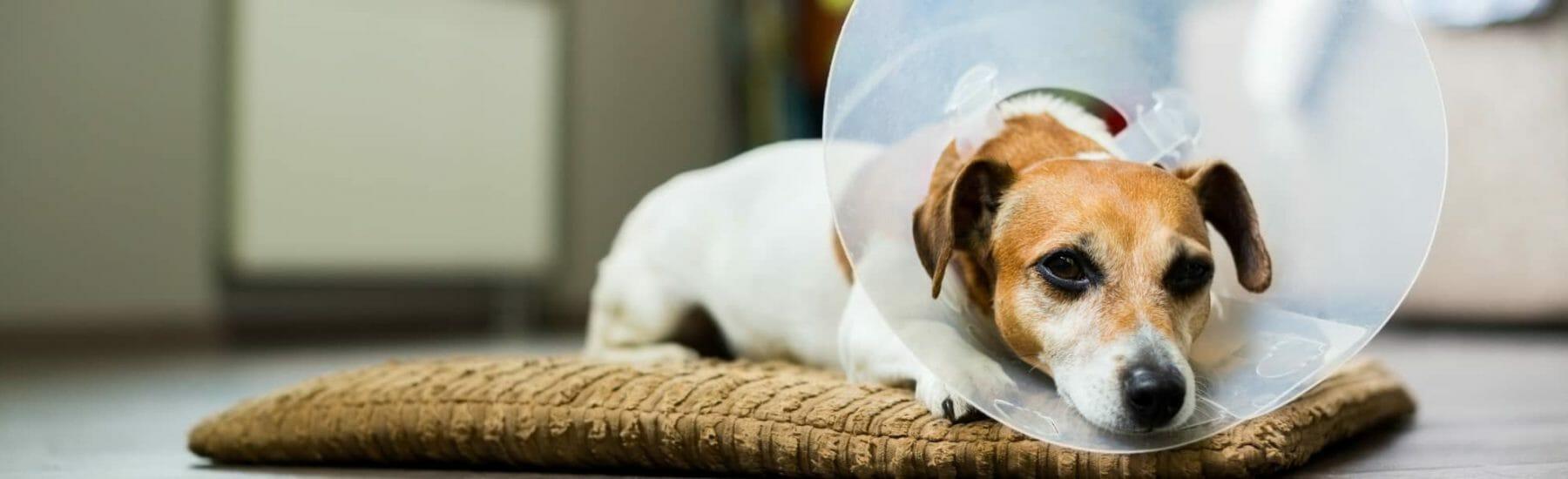 Orange dog with surgical mask