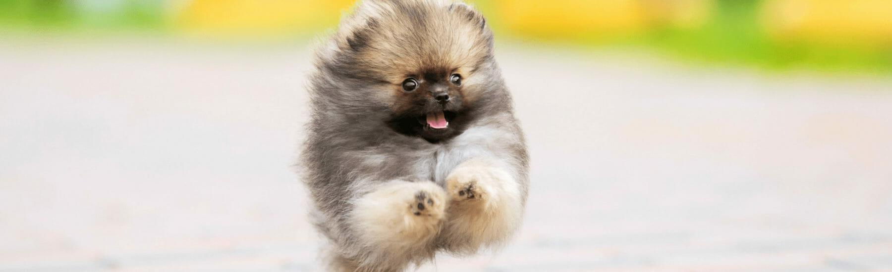 Fluffy dog jumping through the air