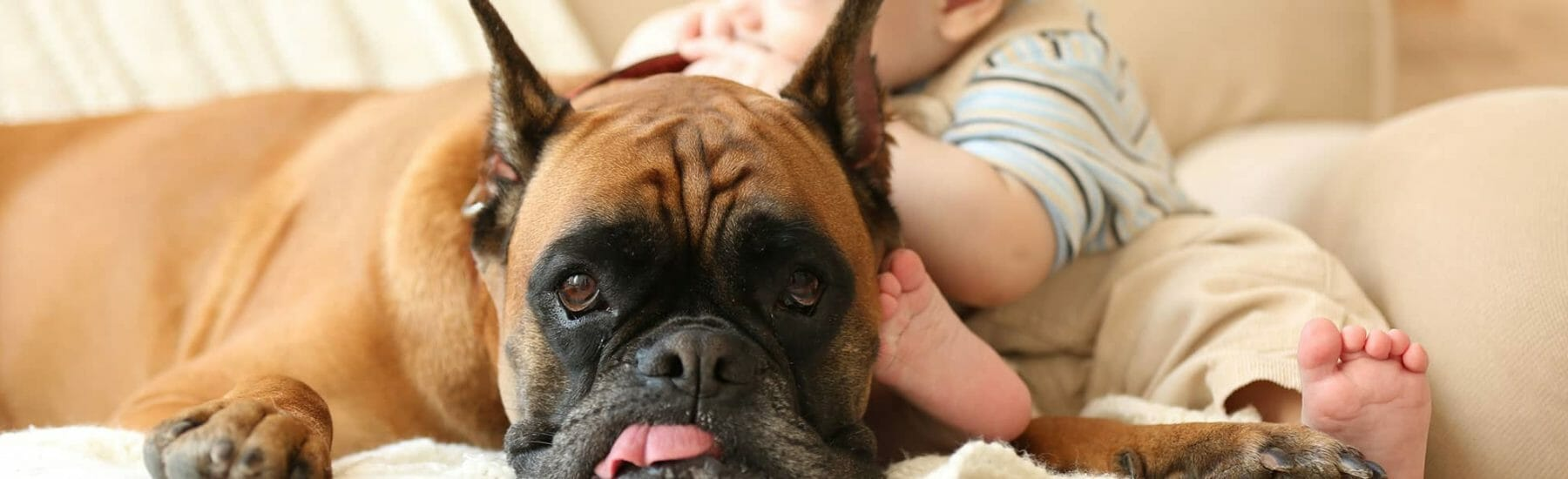 Pug laying on couch with child