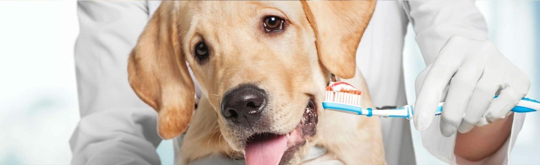 Golden lab having their teeth brushed