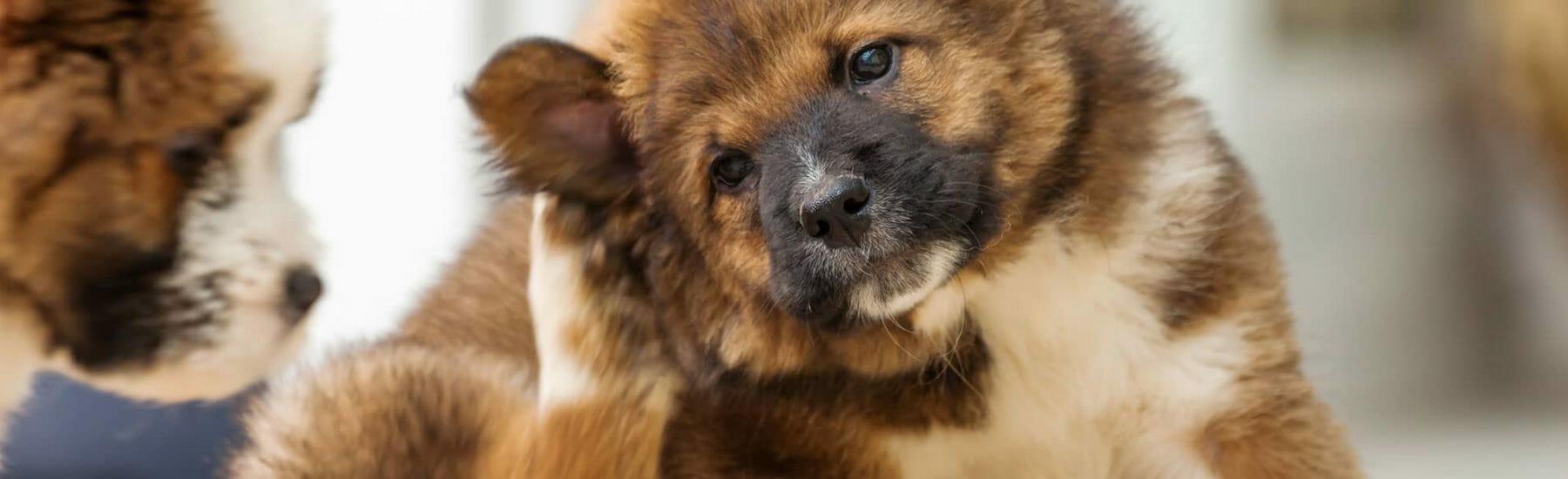 Brown dog scratching ear