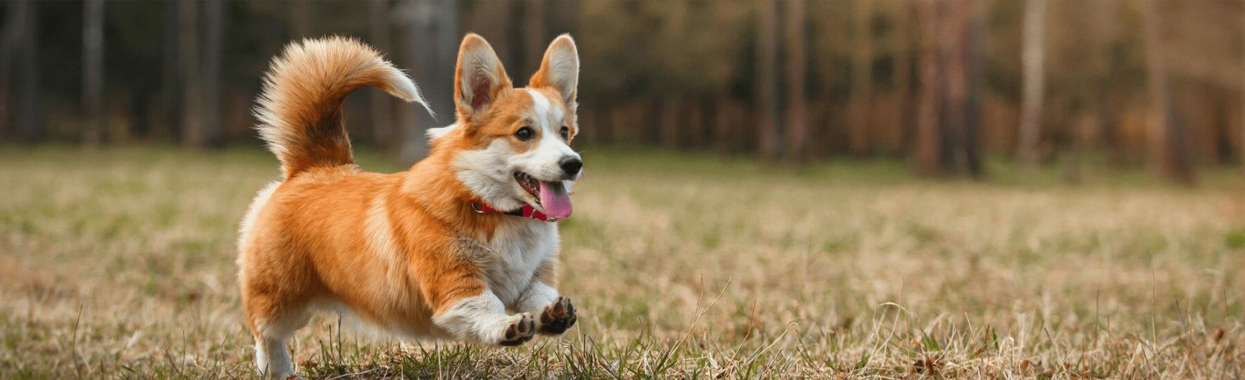 Orange dog jumping through air