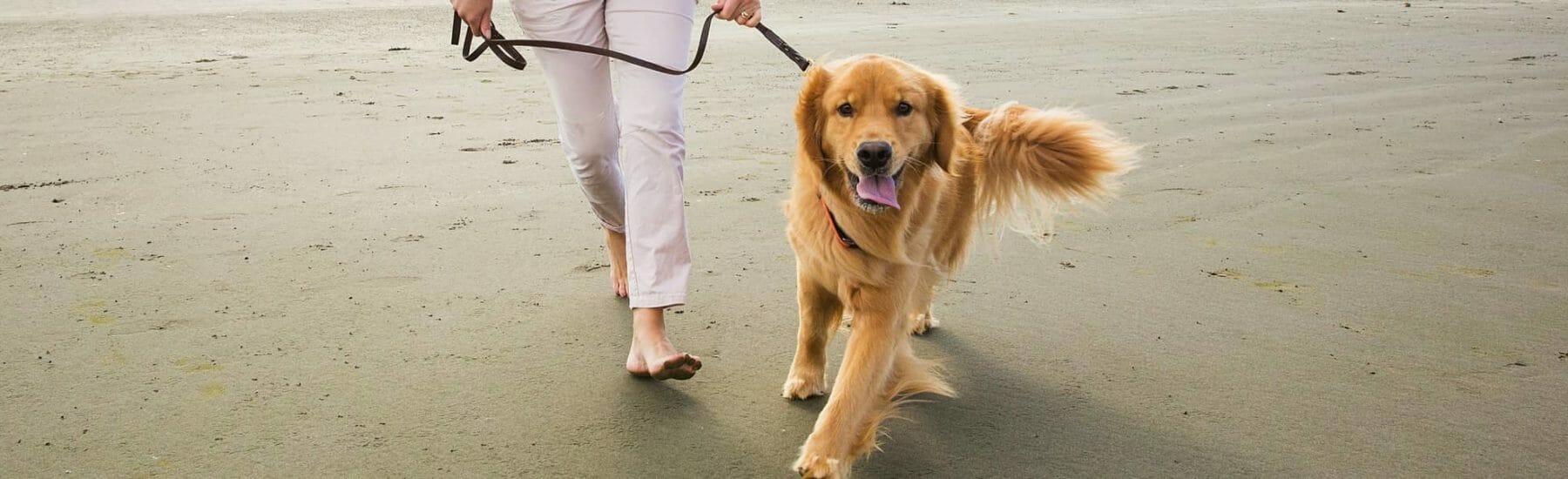 Golden retriever walking on the beach