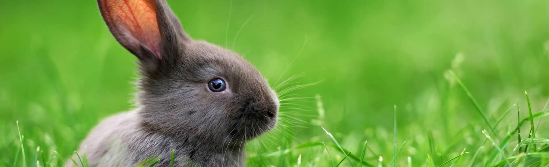 Small grey bunny with blue eyes sitting in the grass